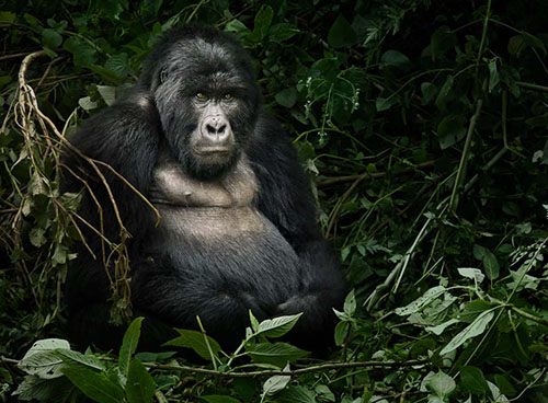 mountain-gorilla_small.jpg